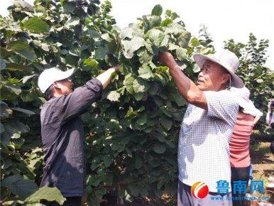 第一届中国山东(莒南)榛子采摘节举办