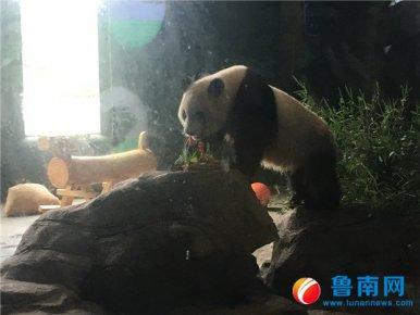 """临沂动植物园大熊猫""""团子""""迎来3岁生日"""