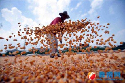 春玉米,喜丰收
