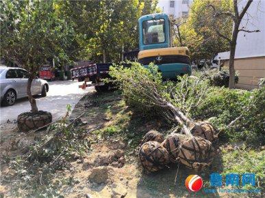 北城新区一小区物业挖走上百棵绿化树木