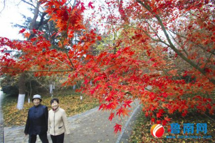 初冬枫叶红似火