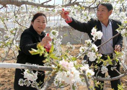 樱桃花开春意浓