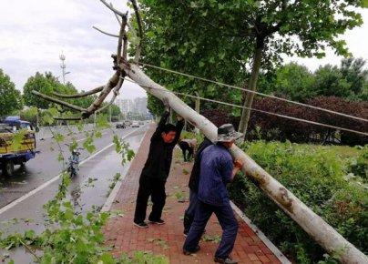 滨河景区150株树木倒伏