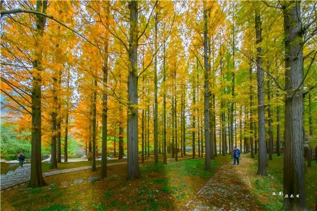 水杉林.jpg