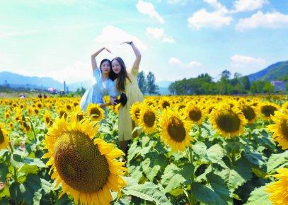 临沂:向日葵花朵朵开 美丽乡村入画来